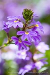 Five_Petal_Purple,_6.3.15