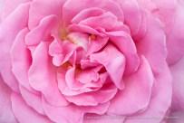 Sweet_Surrender_Rose,_8.4.15