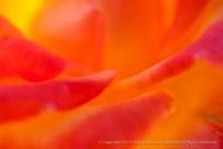 A Rose Like A Sunset, 10.5.15