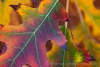 Autumn Leaf Colors, 11.13.15