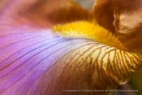Multi-colored Iris, 6.4.15