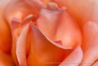 Sunset Celebration Rose (I), 4.16.15