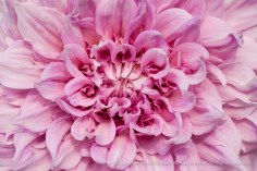 Pink & White Dahlia, 9.12.14