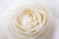 White_Rose_(II),_12.2.15