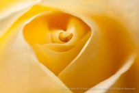 Yellow Rose (I), 12.8.15
