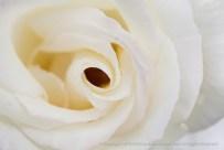White_Rose,_(II),_10.19.15