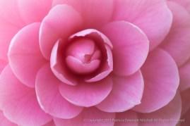 First_Shot-_Pink_Camellia,_2.3.15