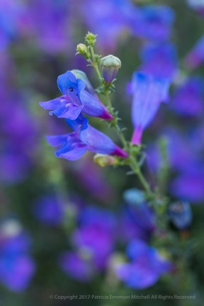Penstemon (I), 5.2.17