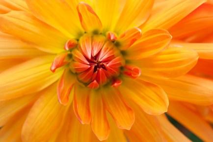 Yellow & Orange Dahlia, 7.5.15