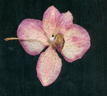 Flor de Milla