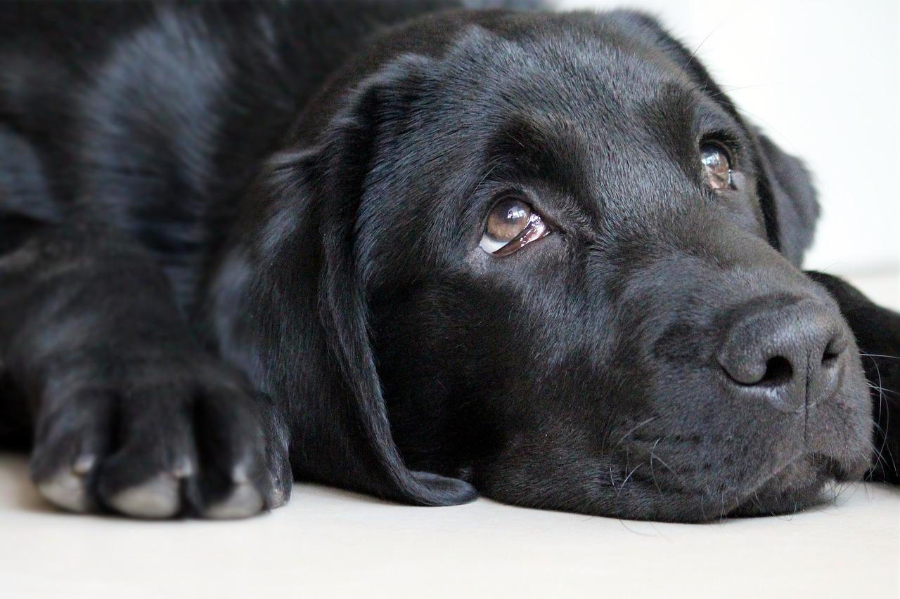 sad faced dog