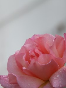 Rain drenched rose