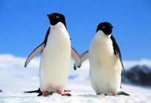 casal pinguins - Para viver um grande amor