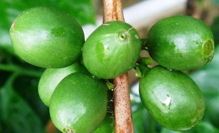 dieta cafe - Emagreça com extrato de café verde