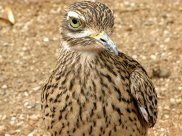 Cape thick-knee, Burhinus capensis