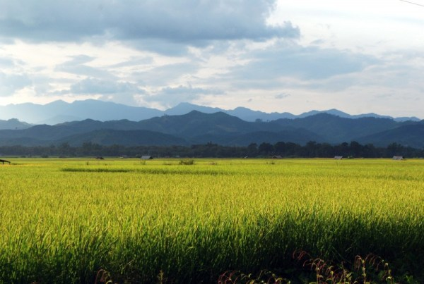 Rice fields as far as the eye can see in Luang Namtha