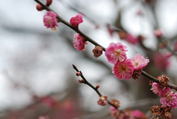 Plum blossoms in Japan