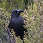 crow3-web