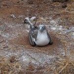 incubating-booby-web