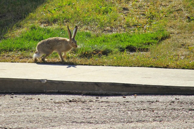 Rabbit on BU's campus