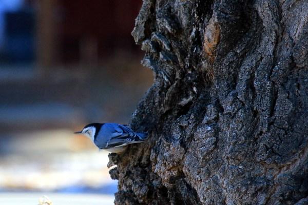 Small blue-grey bird in my tree