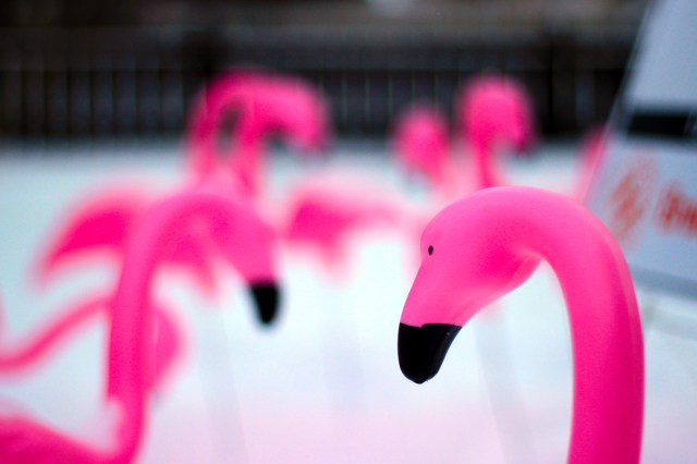 Pink flamingos on the lawn