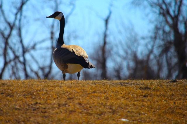 Goose on the berm