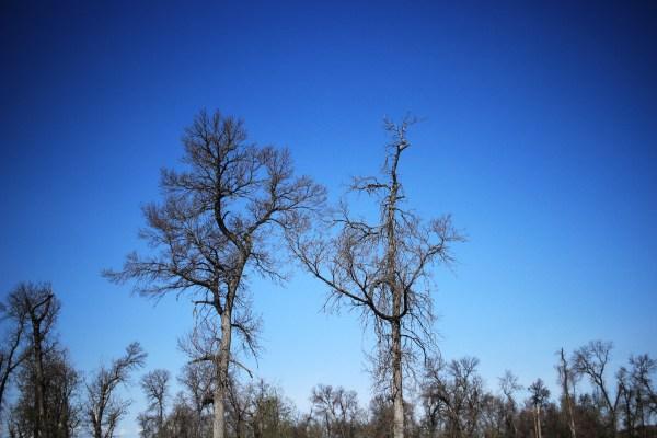 Dead trees against the sky