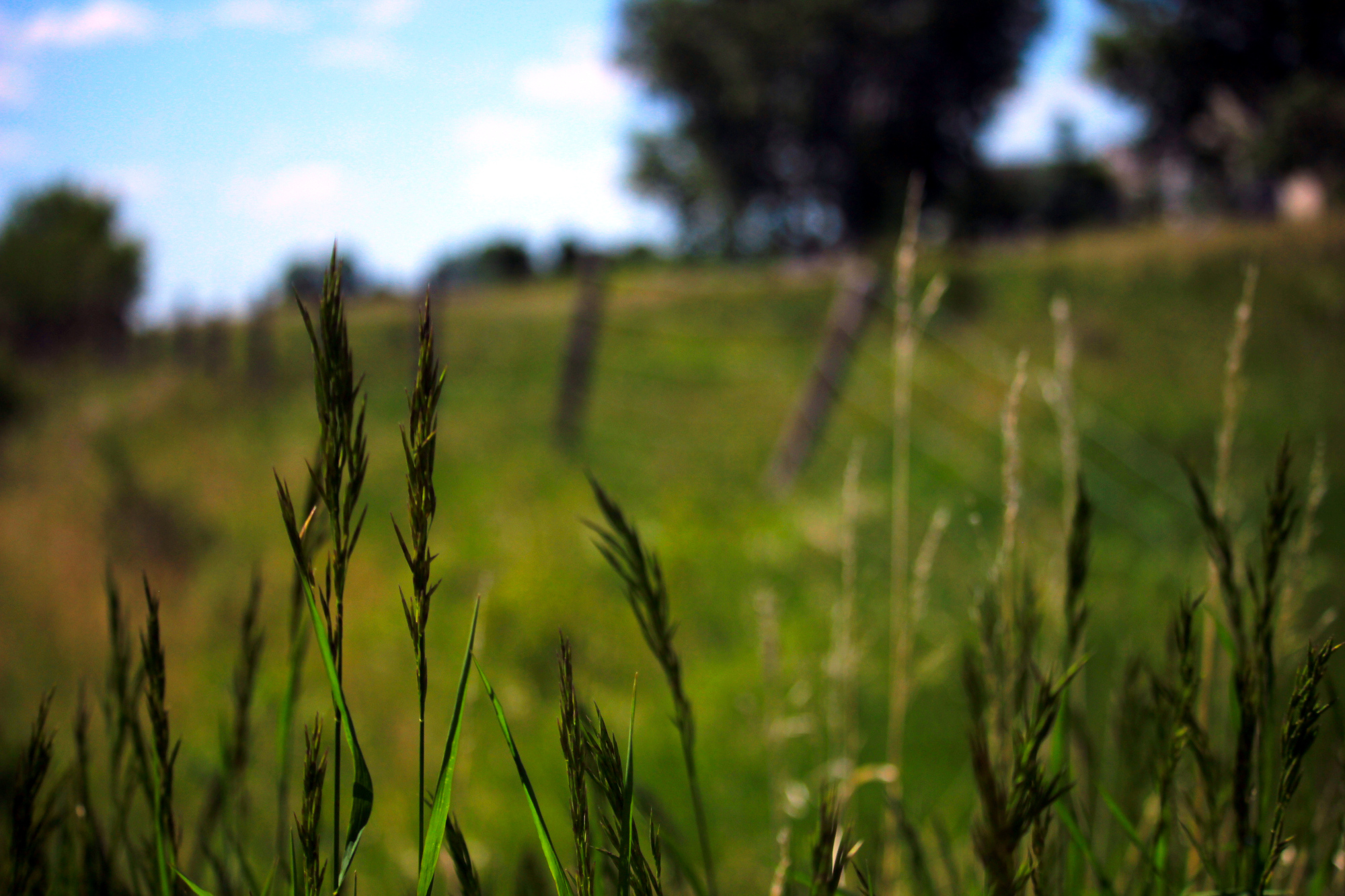 Blades of grass in focus, with the fence blurred