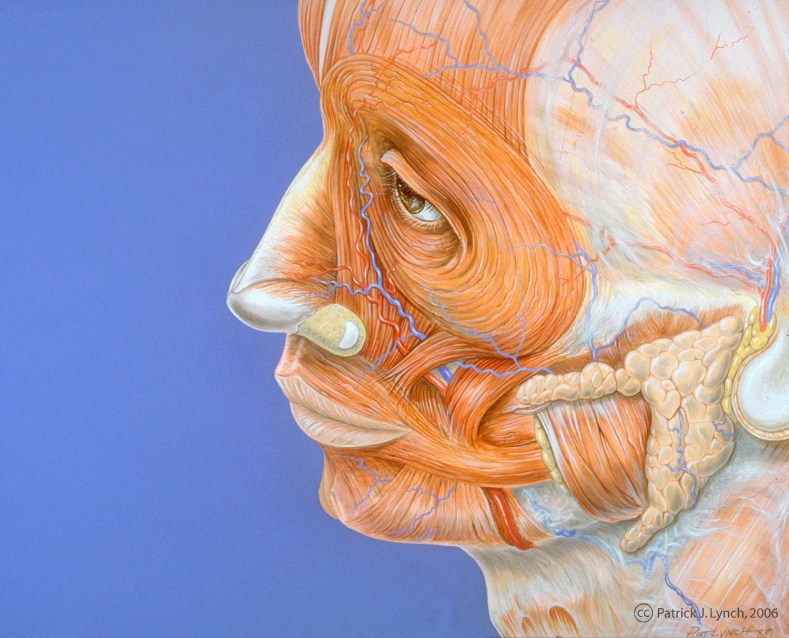 Superficial anatomy of the face. Gouache on board.