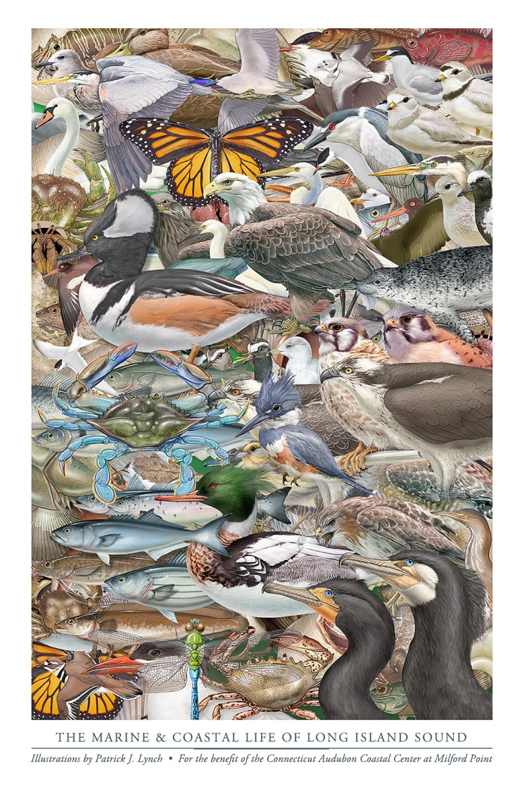 """Illustrations from my """"Field Guide to Long Island Sound,"""" as a poster. ©Patrick J. Lynch, 2017. All rights reserved."""