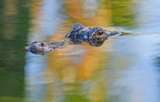 Young American Alligator, Merritt Island National Wildlife Refuge, FL. ©Patrick J. Lynch, 2017. All rights reserved.