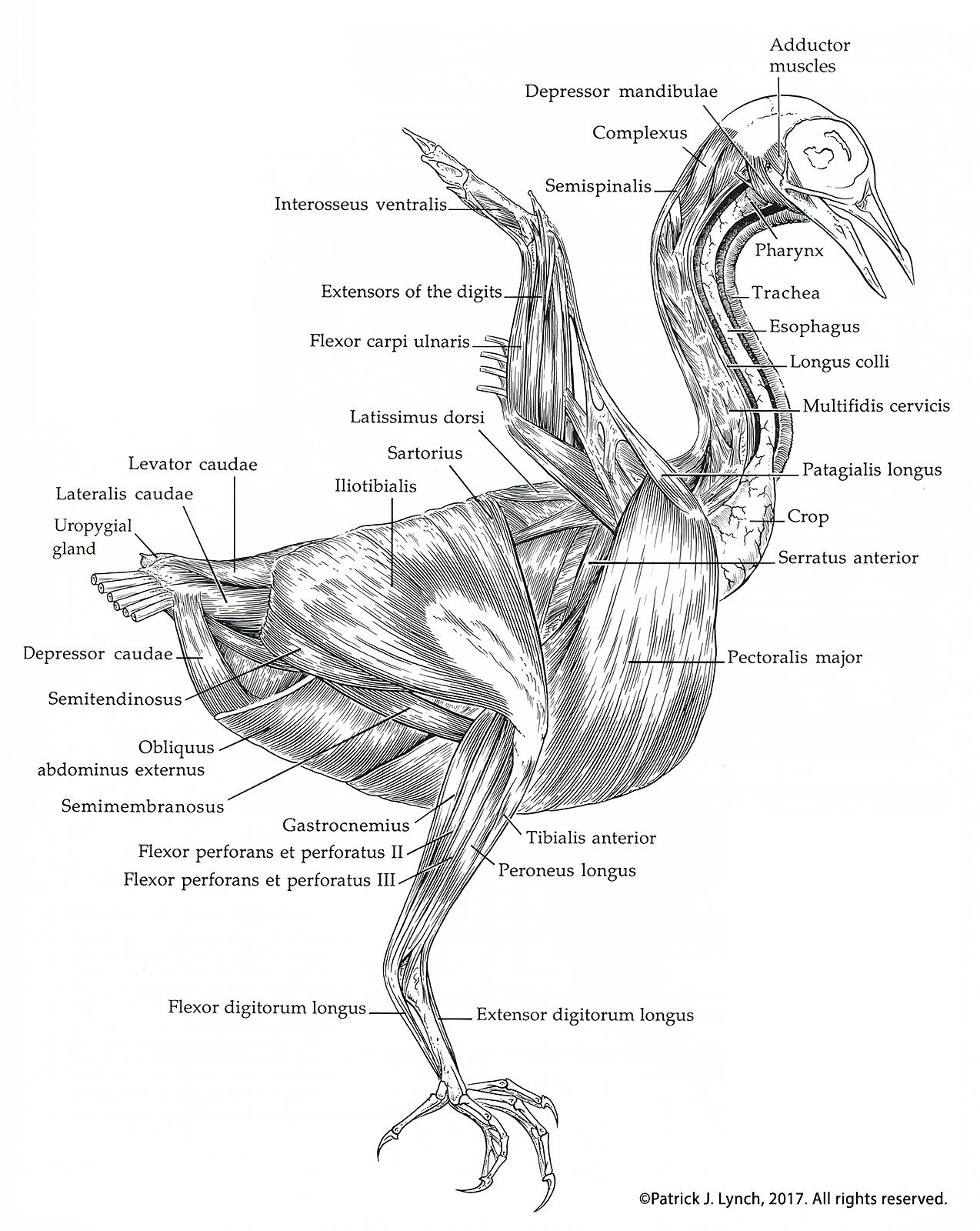 Manual Of Ornithology Patrick Lynch