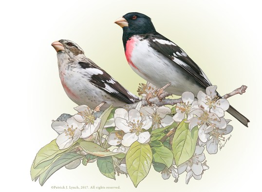 Rose-breasted Grosbeaks. Photoshop. ©Patrick J. Lynch, 2017. All rights reserved.