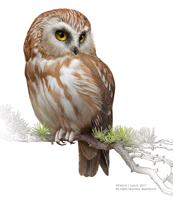 Saw-whet Owl. Painting by Patrick Lynch.