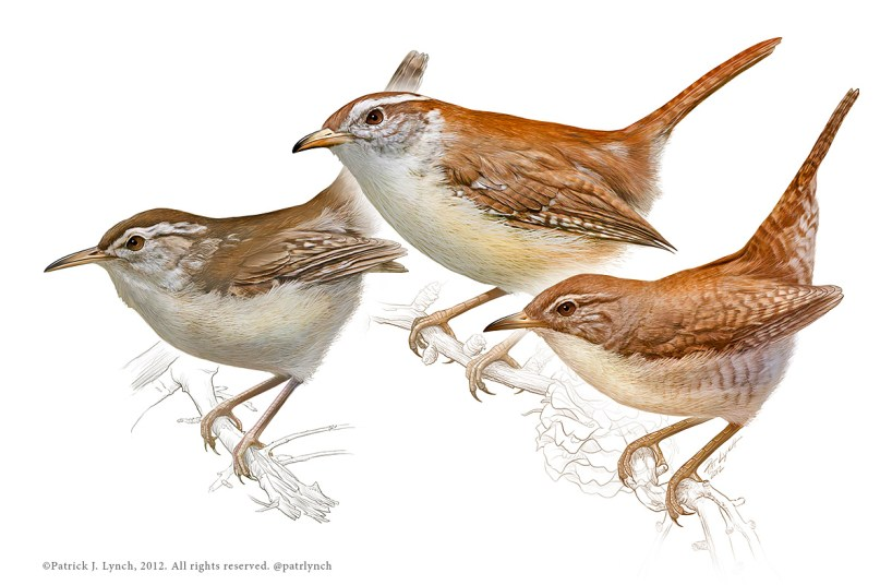 Marsh, Carolina, and House Wrens. Photoshop. ©Patrick J. Lynch, 2017. All rights reserved.