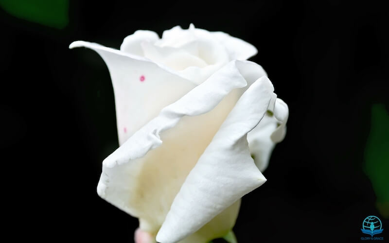 Jehovah Shalom showing a white rose