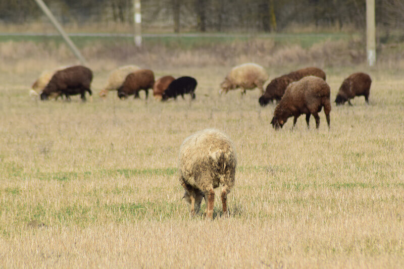 obededom blessings of God showing sheep grazing