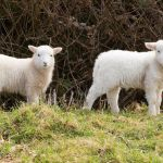 the Lamb of God showing two little lambs