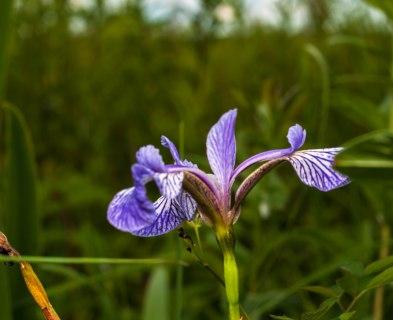 18-juillet-iris-versicolor