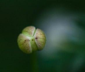 bouton-de-fleur-boucherville
