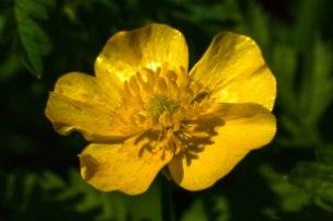 fleurs-jaunes