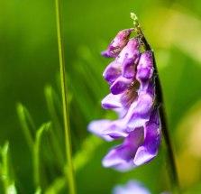 fleurs-mauves