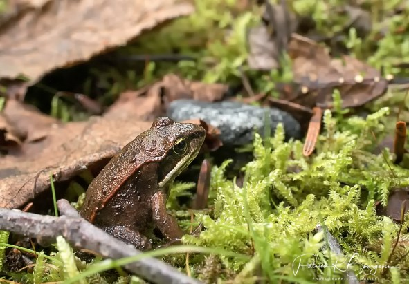 grenouille des bois juvénile (1 sur 1)