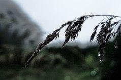 herbe-pluie