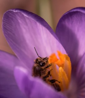 abeille du printemps3 (1 sur 1)
