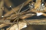 araignée bulles (1 sur 1)