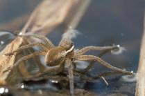 araignée dolomèdes3 (1 sur 1)