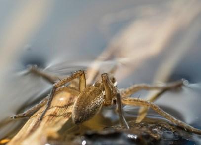 araignée dolomèdes5 (1 sur 1)