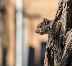 écureuil sur tronc (1 sur 1)